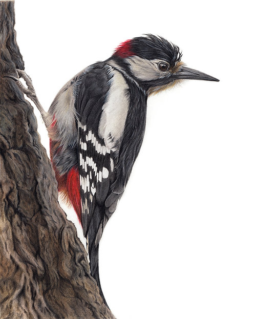 Great Spotted Woodpecker Original Drawing