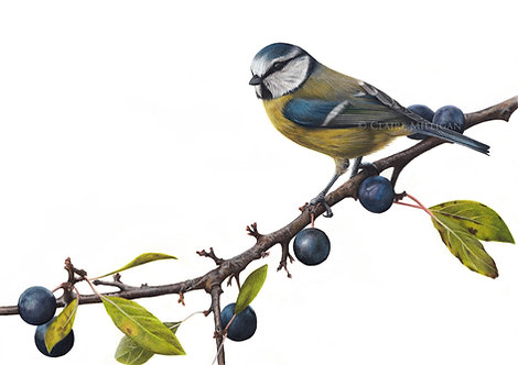Bluetit Original Drawing