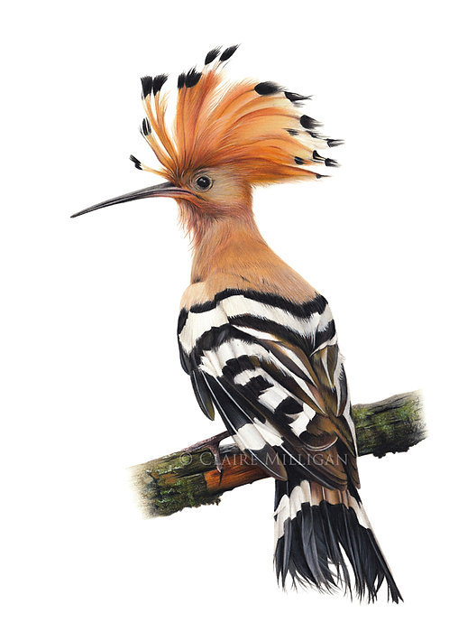 'Hoopoe' Limited Edition Print