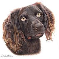'Cooper' the beautiful boykin spaniel is