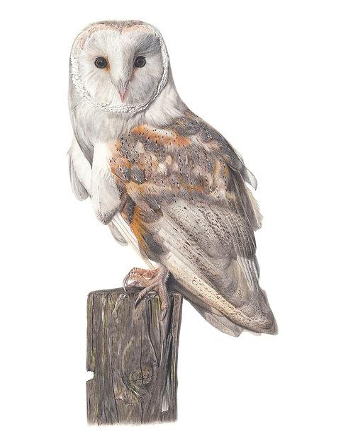 Barn Owl Original Drawing