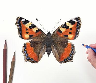 Tortoishell Butterfly.jpg