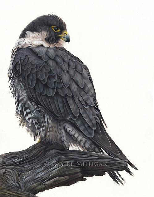 Peregrine Falcon Original Drawing