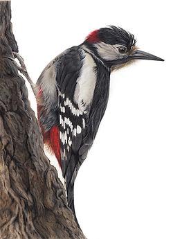 Woody - Woodpecker.jpg