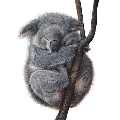 Koala square.jpg
