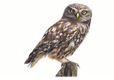 'Little Owl' Limited Edition Fine Art Print