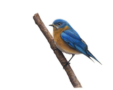 'Eastern Bluebird' Limited Edition Print