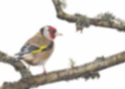 Goldfinch2.jpg