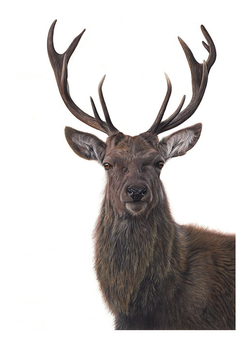 'His Lordship' Stag  Print