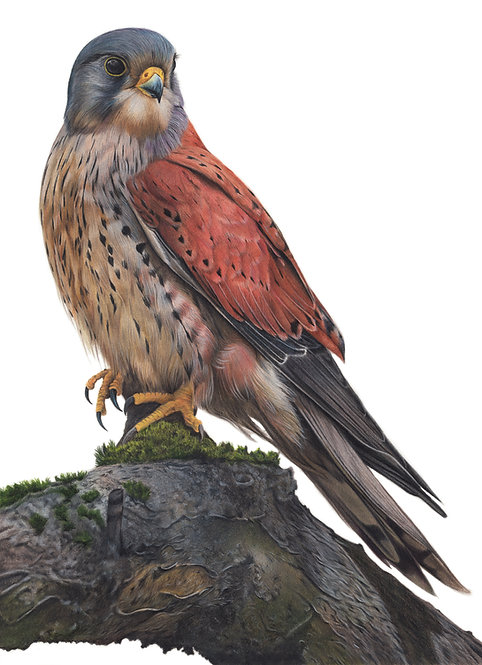 'Kestrel' Original Drawing