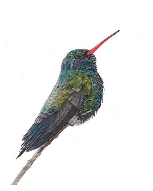 Broad Billed Hummingbird  Print