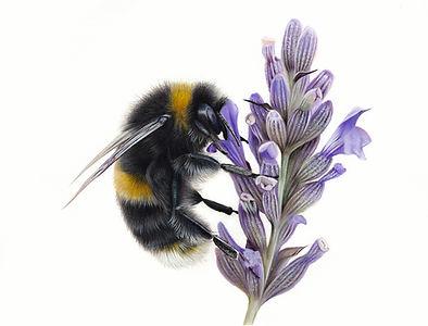 Bumble bee 30%.jpg