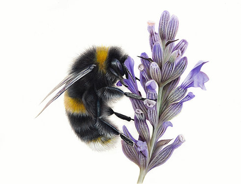 'Bumble Bee' Limited Edition Print
