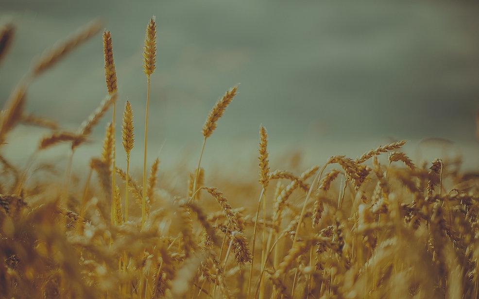 wheatfield-summer-1_edited.jpg
