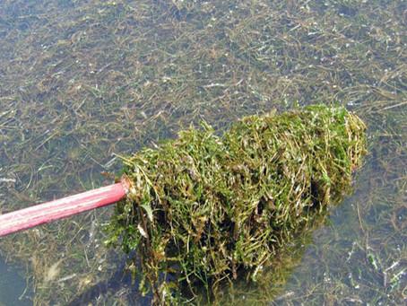 Curly Leaf Pond Weed (CLP)