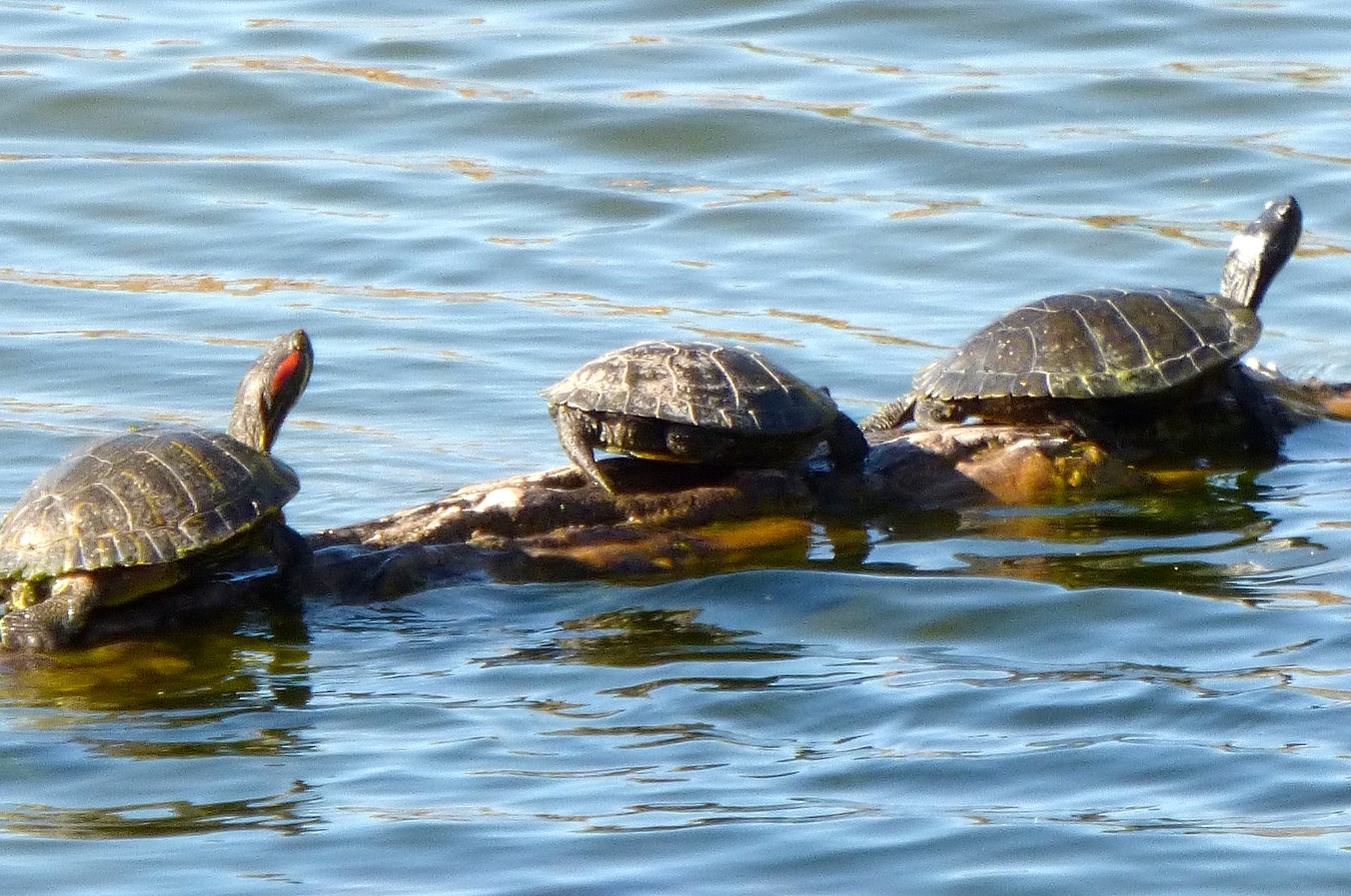 painted_turtles.jpg