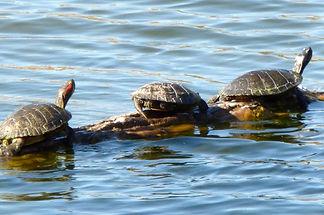 painted_turtles.jpg
