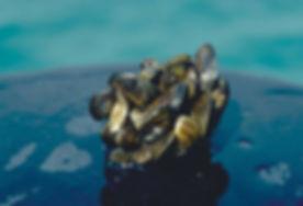 zebra-mussel-noaa-flickr.jpg