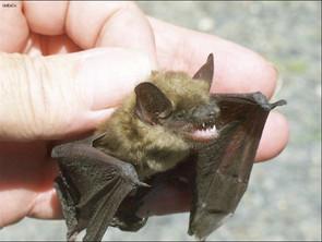 Le SMB; une peste pour la petite chauve-souris brune, la chauve souris nordique et la pipistrelle de