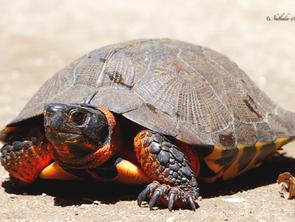 La tortue des bois, fascinante et fragile!
