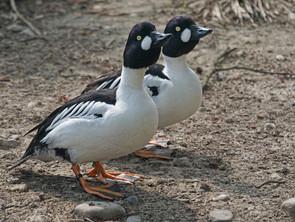 Les canards arboricoles : Garrot à œil d'or, garrot d'Islande et petit garrot
