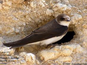 Nos oiseaux menacés: les hirondelles rustiques, les hirondelles de rivages et les martinets ramoneur