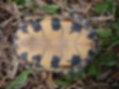 Carapace de tortue des bois (Nouveau-Brunswick)