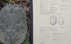 Inventaire de tortue des bois au Madawaska (Nouveau-Brunswick)
