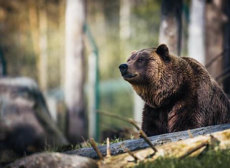 Сяюча рись, вовк-віщун і континент ведмедів: що розкажуть хижаки