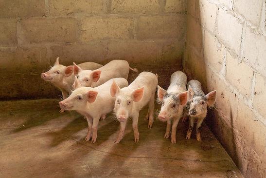 Les porcs de Sylvestre.jpg
