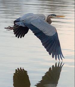 Herons Ducks Geese Swans...