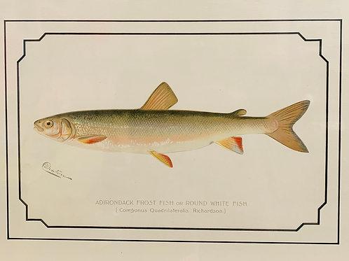 Adirondack Frost Fish Antique Print by S.F. Denton