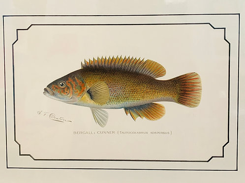 Bergall: Cunner Fish Antique Print by S.F. Denton