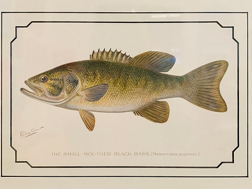 Small Mouthed Black Bass Antique Print by S.F. Denton