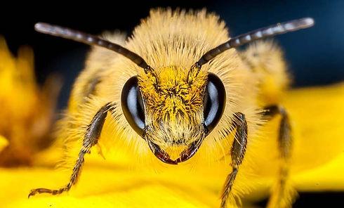 cellophane-bee-Colletes-compactus.jpg