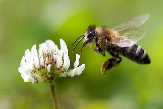 170322-honey-bee-mn-1700_a51cb63bf4be836