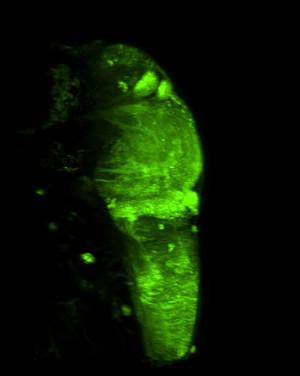 Whole brain of a larval zebrafish