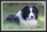 Borderstrand Border Collies, Border Collie puppies for sale, Borderstrand Bronze King