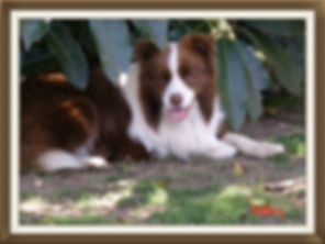 Borderstrand Bronze King, Border collie puppies for sale
