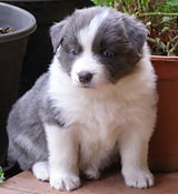 Borderstrand Border Collies,Border Collies, Border Collie Breeders""