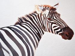 zebra ...Jenny