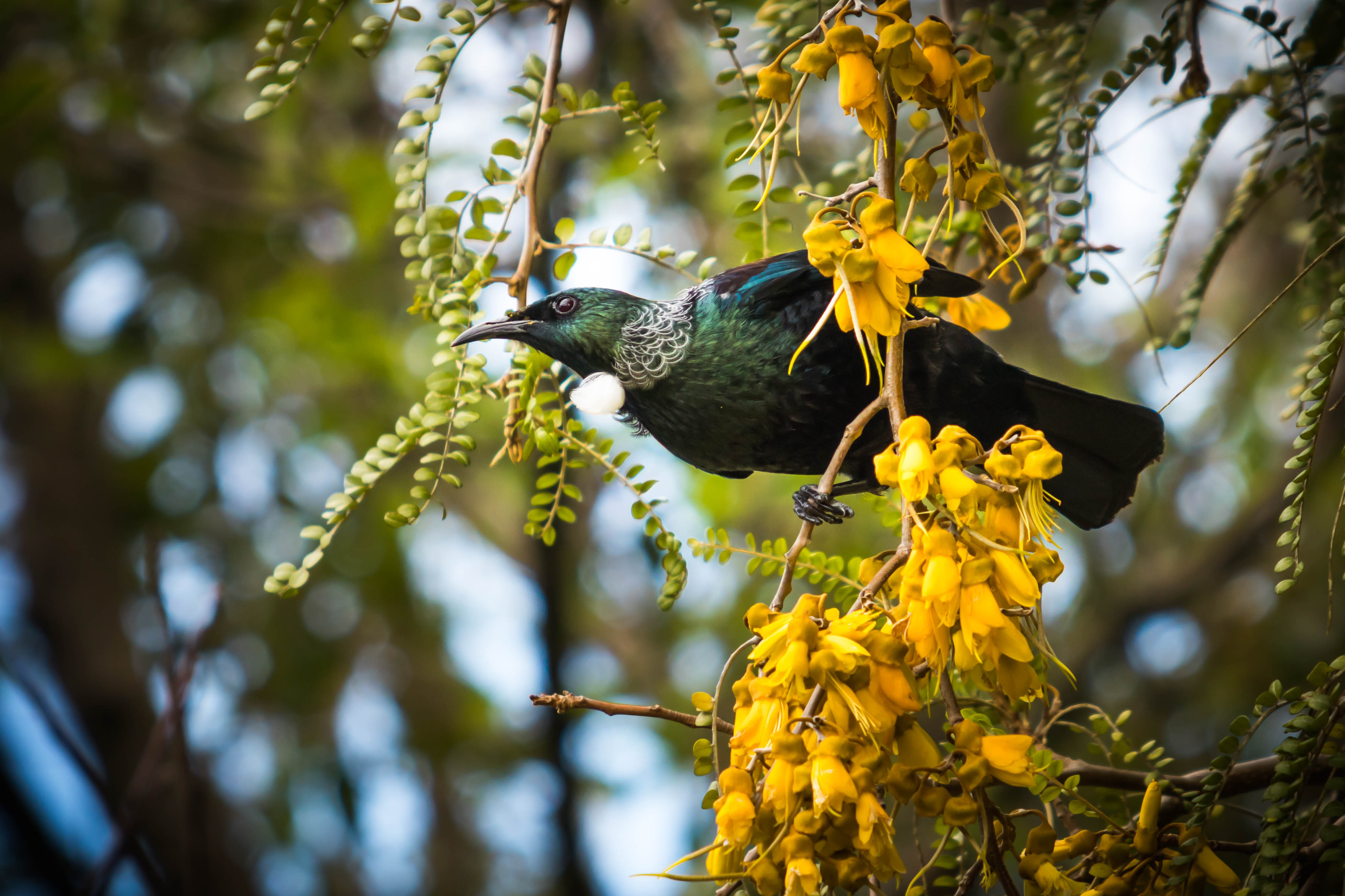 A Tui resting in a Kowhai tree