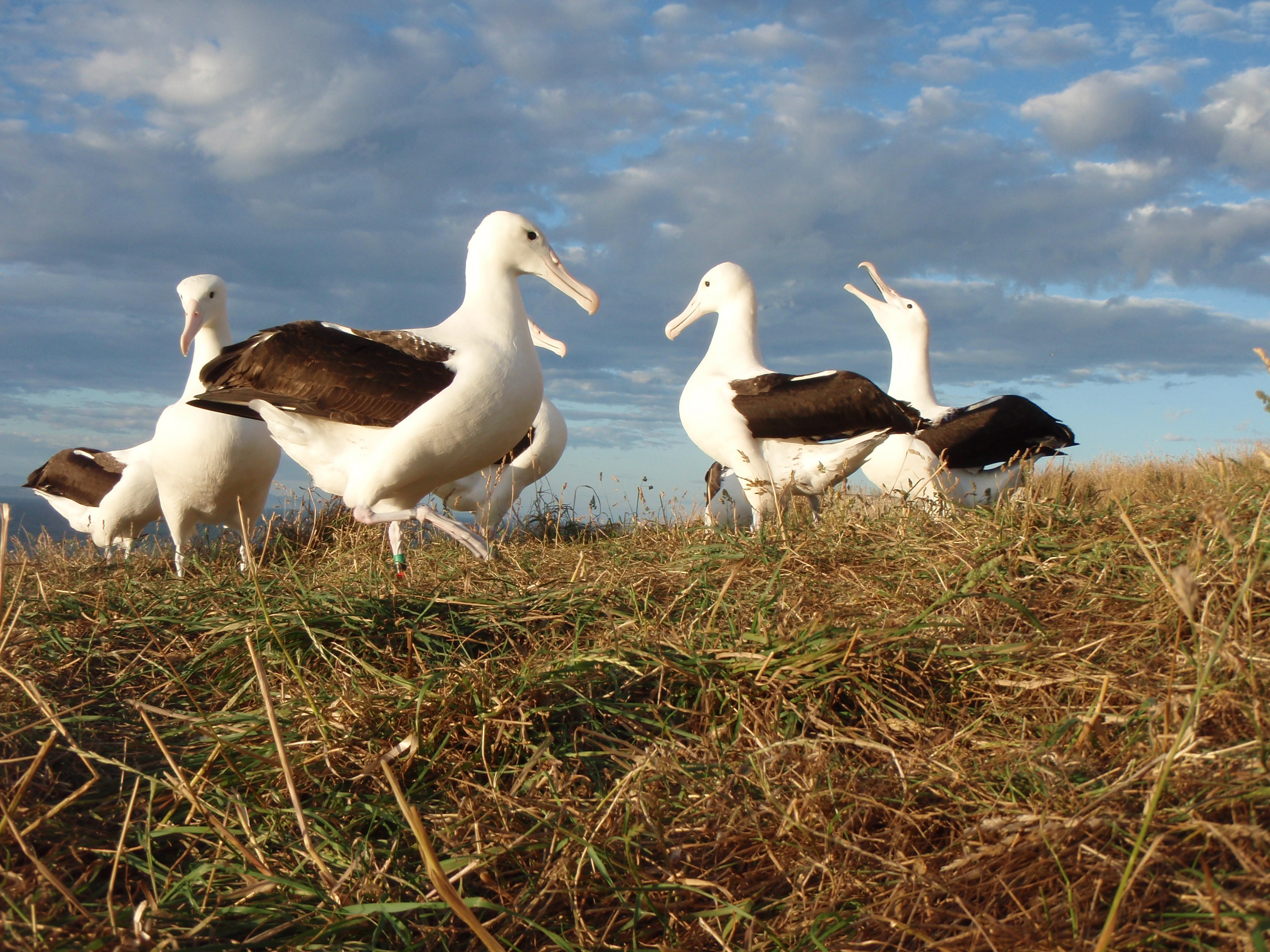 Northern royal albatross courtship