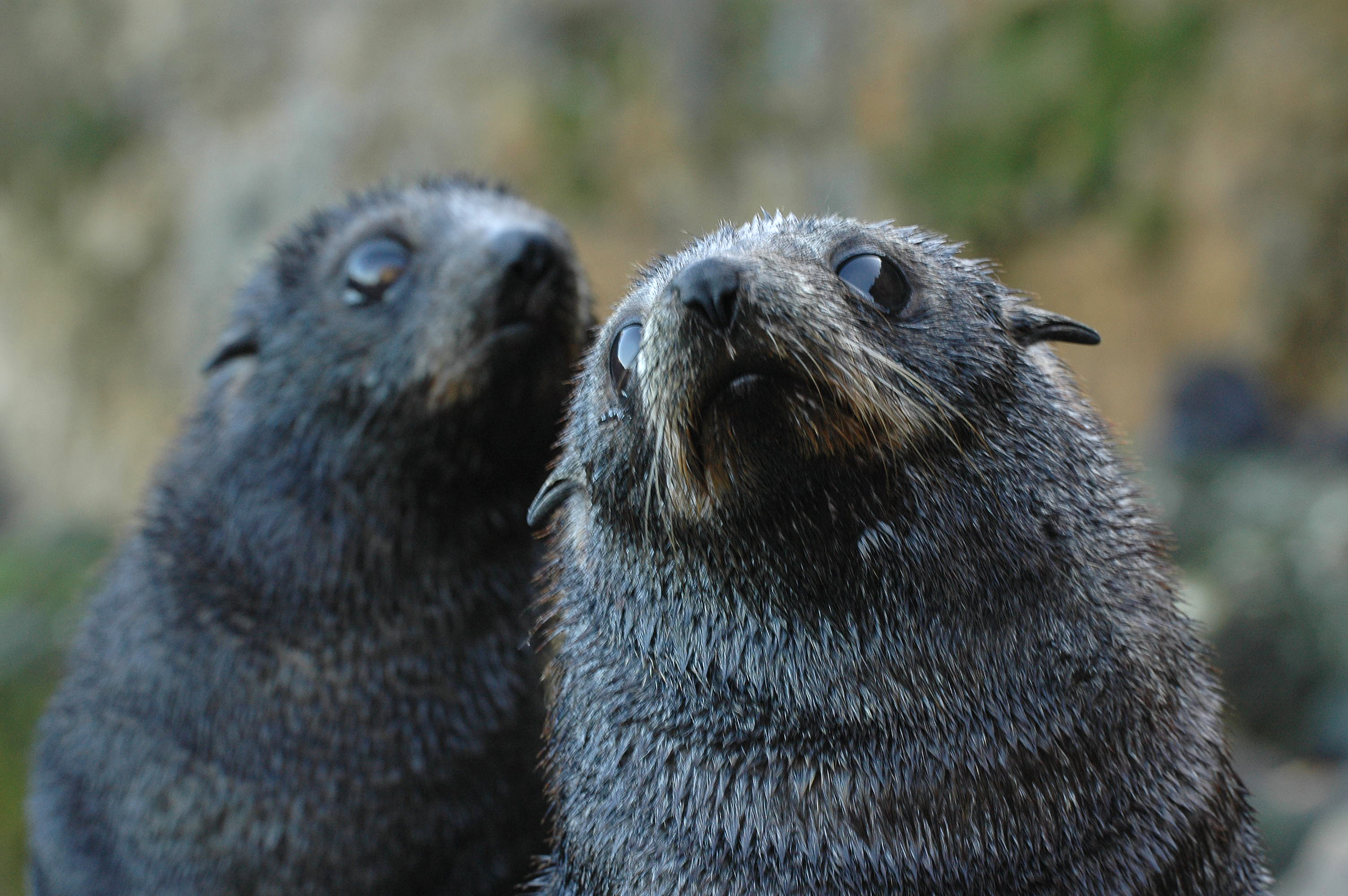 Curious fur seal pups