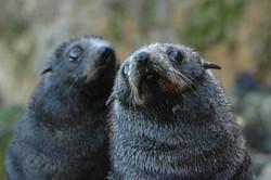 Curious fur seal pups