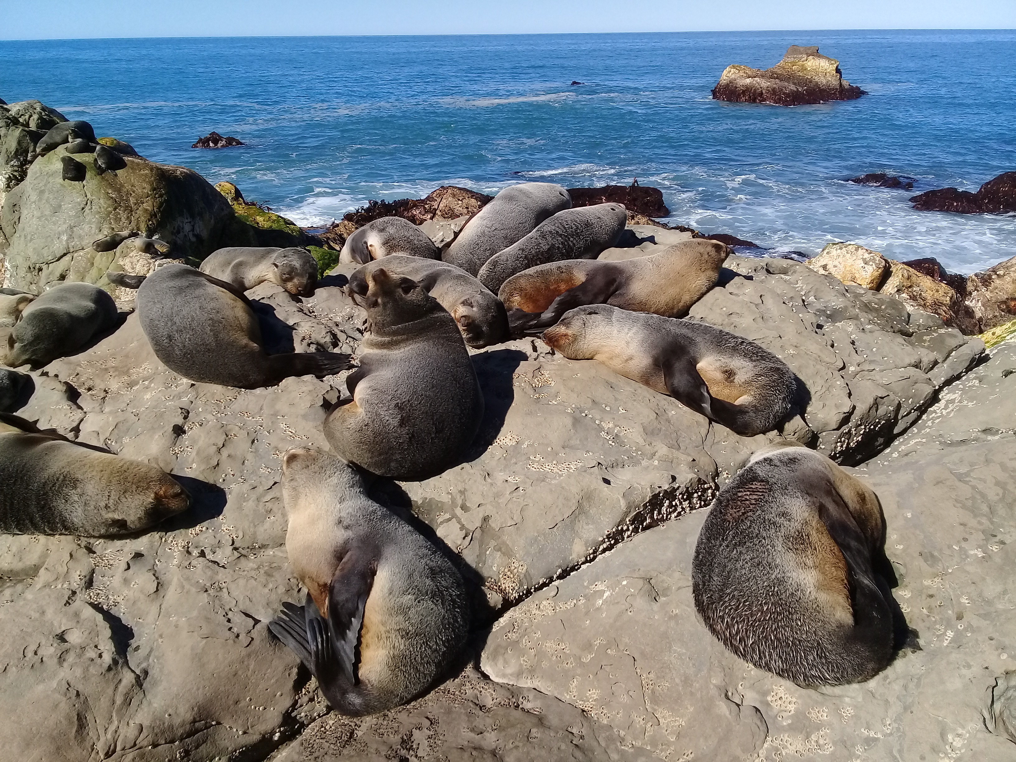 Snoozing fur seal pups