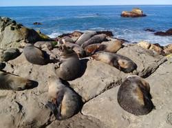 Snoozing fur seal pups