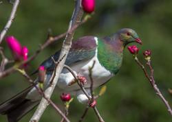 Kereru, New Zealand Wood Pigeon