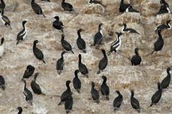 Otago shags a threatened species