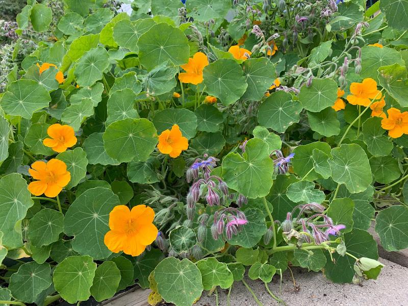 Nasturtium borage flowers